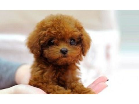 dsfd toy poodle puppies for sale