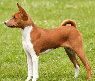 Welsh Terrier Breeds - TCDC