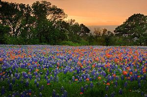 Texas Photograph - Texas Sunset - Bluebonnet Landscape Wildflowers by Jon Holiday