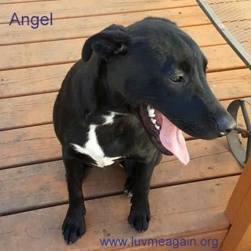 Angel is an adoptable Boxer searching for a forever family near Bloomington, MN. Use Petfinder to find adoptable pets in your area.