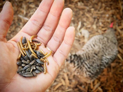 black sunflower seeds protein percent black sunflower seeds and dried mealworms to boost