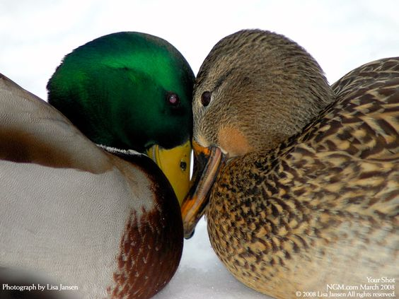 A pair of Mallard ducks cuddling on a cold winter's day near Green Bay, Wisconsin.
