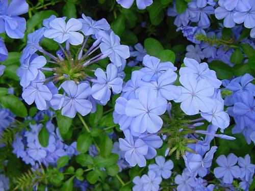 Plumbago.  My absolute favorite flowering plant of all time. They are extremely vibrant.: