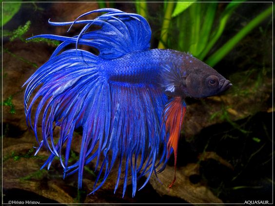 Click this image to show the full size version peses for Betta fish names male blue