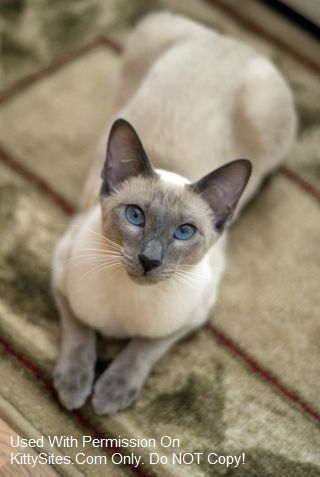Blue Eyes Cattery Distinctive Siamese Siamese Cats Blue Point Cats And Kittens Siamese Cats