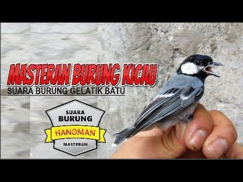 Asli Suara Burung Gelatik Batu Gacor Cocok Untuk Pancingan Murai Kacer Cucak Ijo Youtube Gelatik Batu Burung Suara