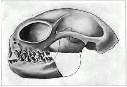 Este cráneo pertenece a uno de los seres más pequeños de los que escapaban de los dinosaurios para no ser devorados.