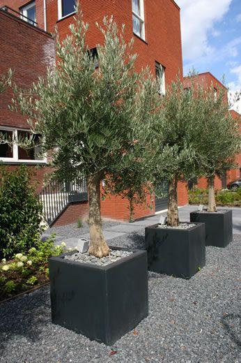 olijfboom in pot
