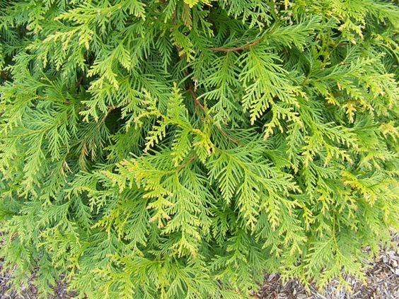 Thuja Green Giant Foliage Cross Between Cedar And
