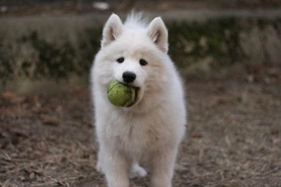 samoyed puppy with a tennis ball