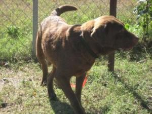 Mikey is an adoptable Chocolate Labrador Retriever Dog in Bartlesville, OK.  Looking for a loving home! Mikey is a great big lovable lug. Mikey's adoption fee is $65. Please contact us ( ... ...: