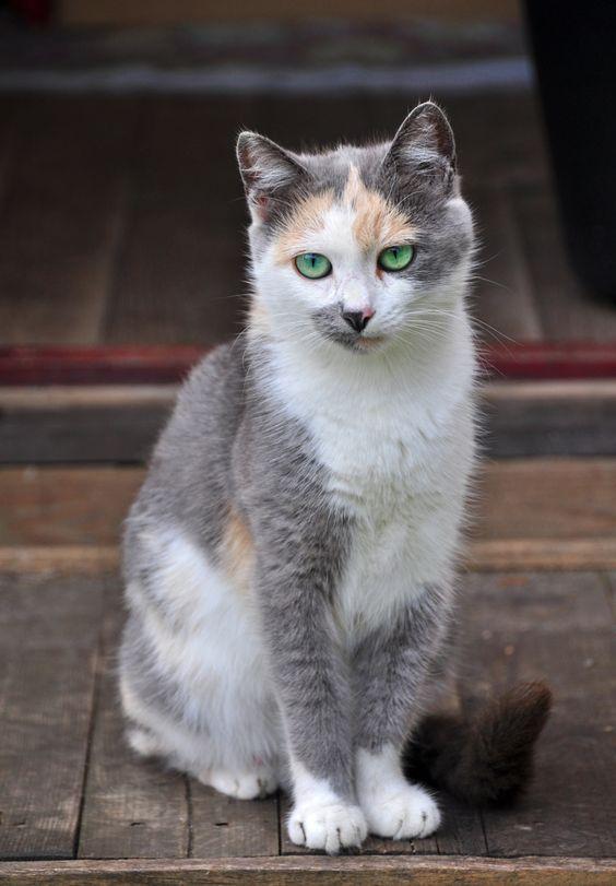 Beautiful White/Gray Calico Barn Cat.