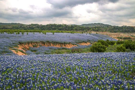 Field of Bluebonnets at Lake Travis, Texas.