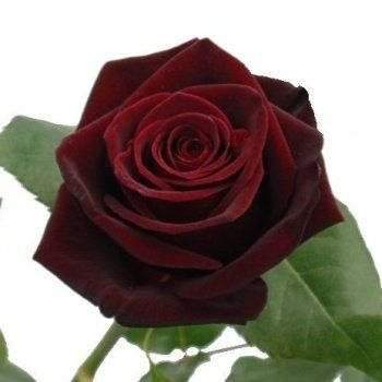 Black Bacarra Red Rose    A fresh dark red rose, Black Bacarra conveys a sense of magic due to its deep blackberry color. When placed under dim lights, the Black Bacarra rose appears mysteriously black. Its deep red velvety petals open into a stunning cup-shaped bloom