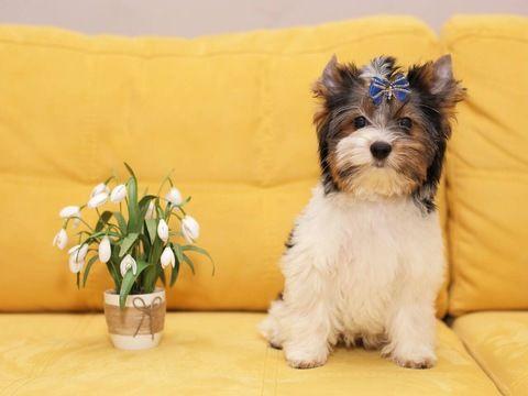 Biewer Terrier Puppy For Sale In Salem Or Adn 71329 On Puppyfinder Com Gender Male Age 4 Months Old Terrier Puppy Puppies For Sale Cute Baby Animals