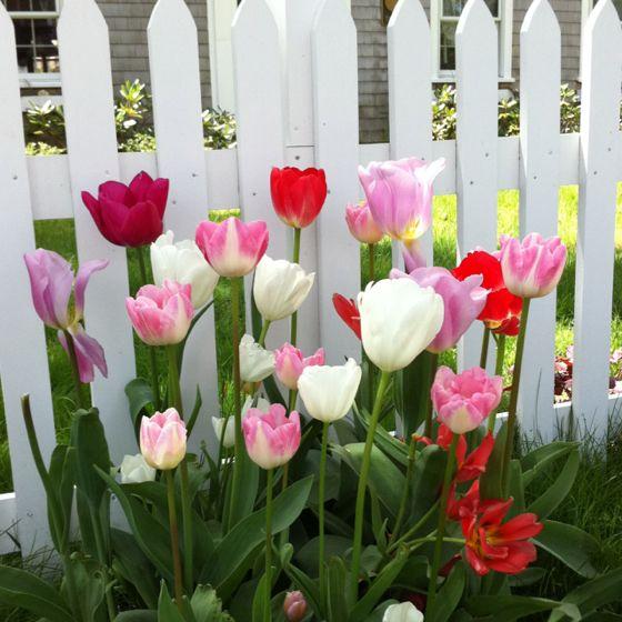 Tulips near picket fence