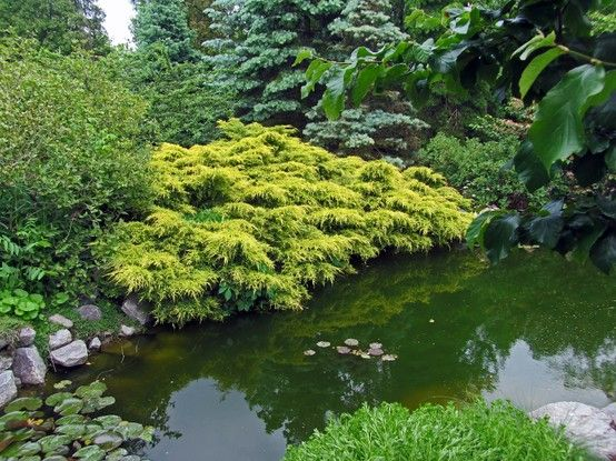 beautiful pond with conifers