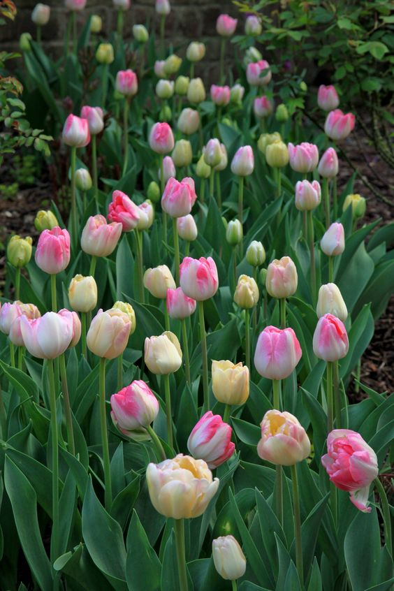 Pink and Yellow Tulips 'Pillow Talk.'