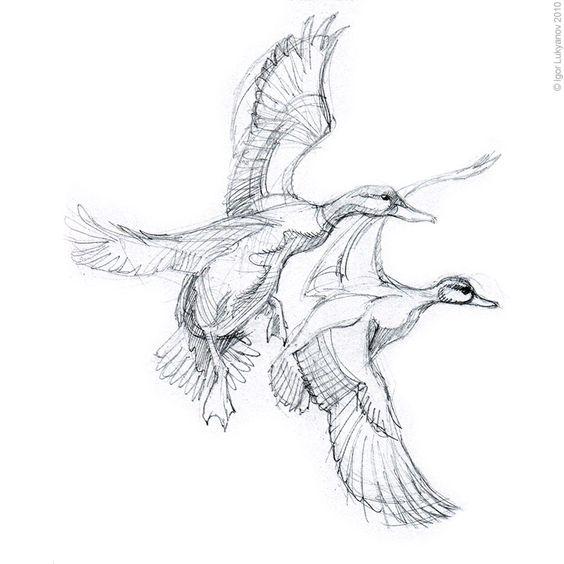 Mallard Duck Sketch - Eenden | vogels | Pinterest ...