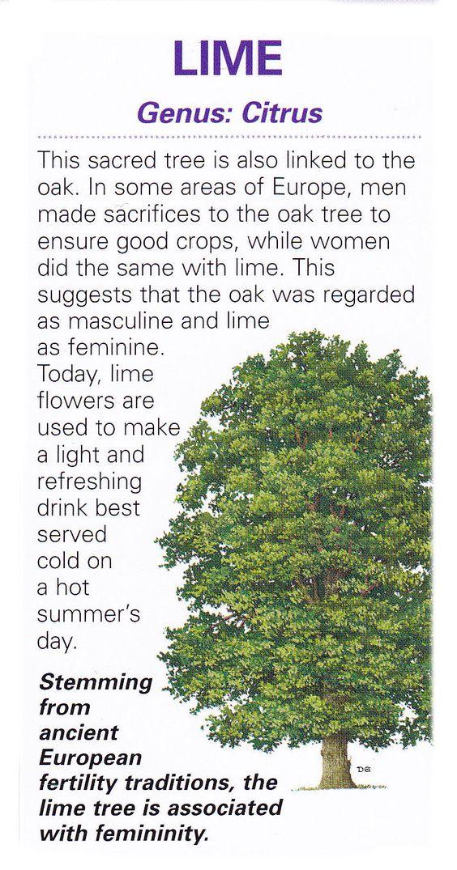 Sacred celtic tree - Lime: