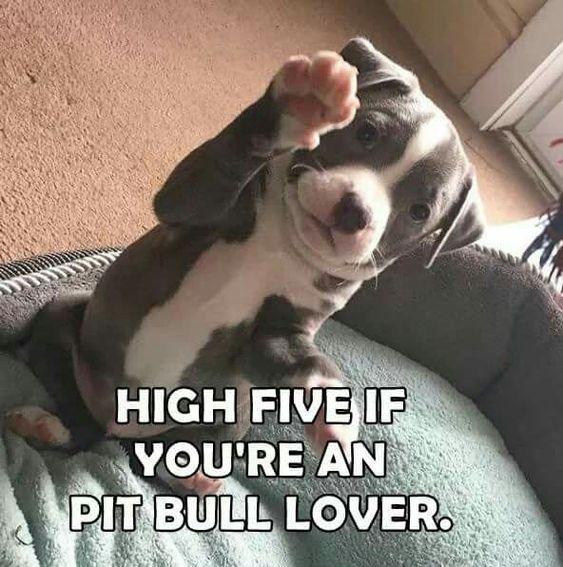 High Five If You Are A Pitbull Lover Cute Pitbulls Pitbulls