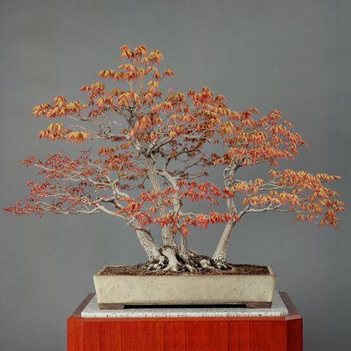 天皇家の盆栽4「もみじ寄せ植え」白交趾長方鉢