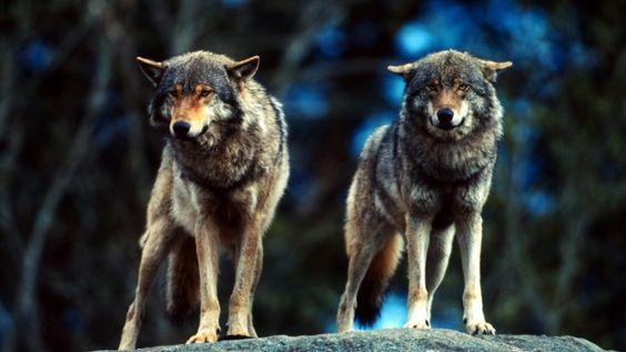 Już raz prawie go straciliśmy. Dziś wilk potrzebuje naszej pomocy - WWF