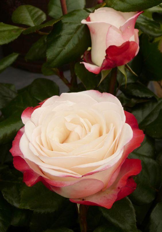 Gardens cherries and sweet on pinterest - Rose cultivars garden ...