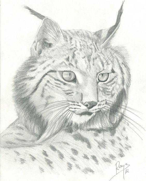 Lince Rico Dibujo Piz Fauna Pinterest