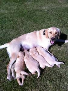Yellow lab & puppies