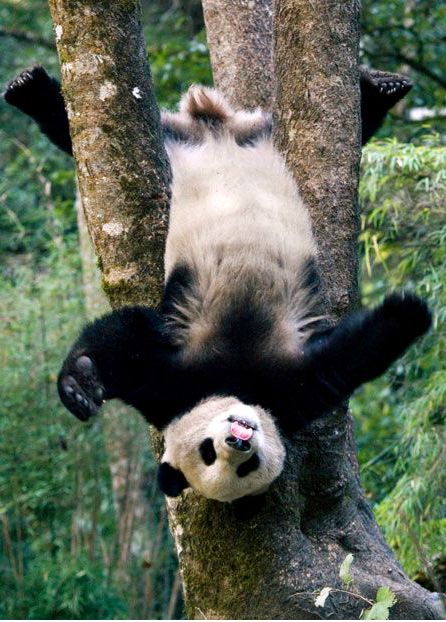 A giant panda cub shows off its gymnastics skills by hanging upside down from a tree, while also sticking out its tongue. Photographer Mitsuaki Iwago.
