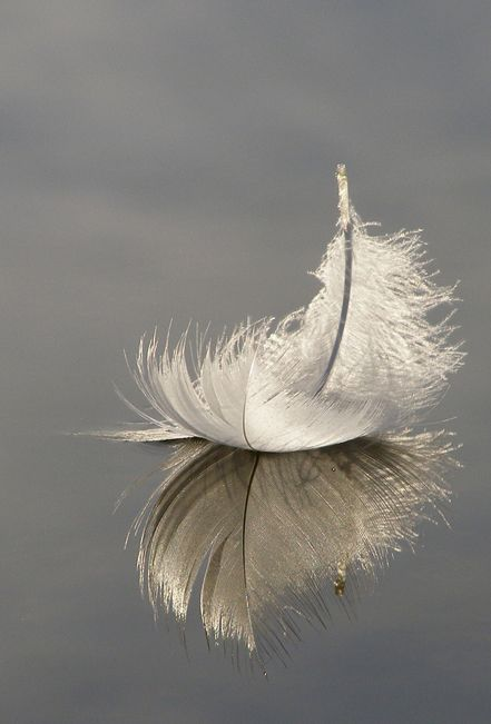 Swan feather floating on Hatchet Pond, Hampshire, England: