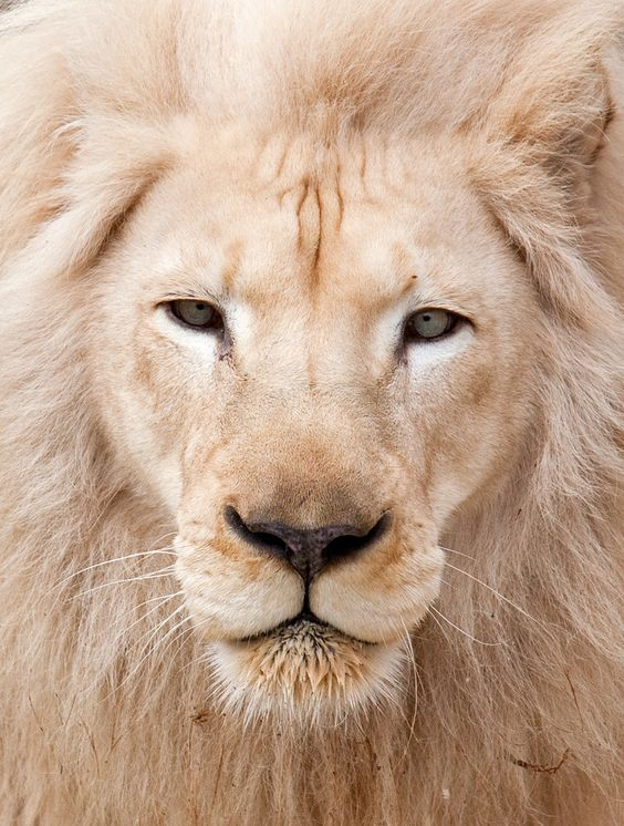 "beautiful-wildlife: "" White Lion Potrait by Mark Dumont """