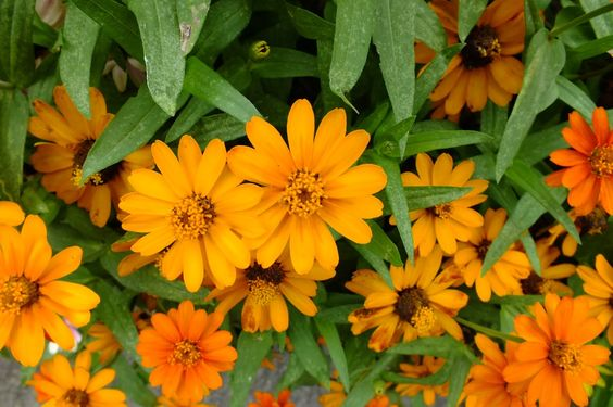 'Orange Profusion' zinnias