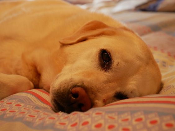 Best Dog Bed For Labrador Retrievers & Puppies