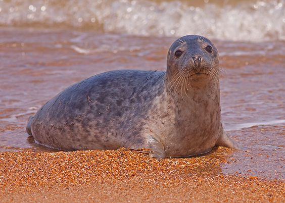 Grey Seal captured at Horsey Gap Beach. Norfolk by Stamford based Jandy Photography