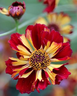 Love this color combo. Annie's Annuals favorite place to shop for flowers. Coreopsis tinctoria 'Roulette'