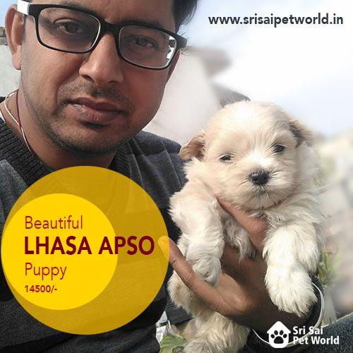 Buy Lhasa Apso Puppy In Chandigarh Buy Lhasa Apso In Jalandhar