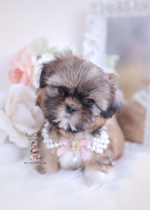 Shih Tzu Puppy For Sale Teacup Puppies 102 C In 2020 Shih Tzu Puppy Teacup Puppies Shih Tzu