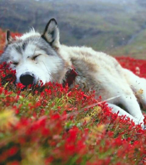 Pin By Maline On Loup Wolf Wallpaper Baby Wolf Wolf Puppy