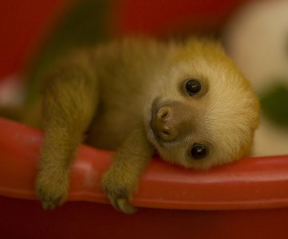 Baby sloth... LOVE SLOTHS <3 <3 <3 <3 <3 <3 <3 <3 <3 <3 <3 <3