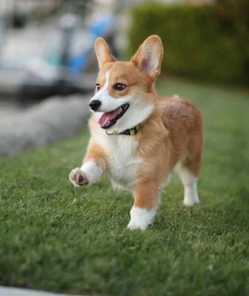 Pembroke Welsh Corgi Facts Pictures And Information Corgi Dog