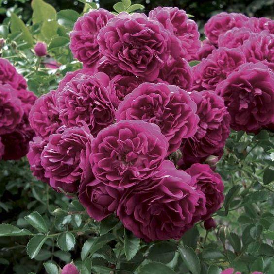 rosier grimpant crimson shower rosa rosam pinterest f tes ps et pots. Black Bedroom Furniture Sets. Home Design Ideas