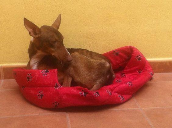 Descansando en su casa de acogida. Es un amor de perra que se lleva bien con gatos y otros perros.