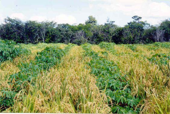 plantio arroz - Pesquisa Google