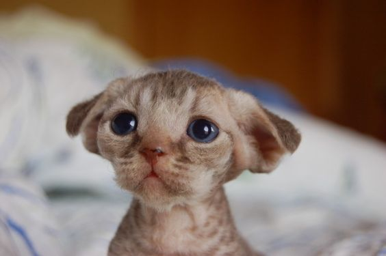 """The cutest devon rex kitten ever! Oh my goodness, this lil thing looks like the small super cute alien pet off """"Flight of the Navigator""""!"""