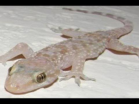 الطريقه الصحيحه لطرد الوزغ البورص ابو بريص من المنزل نهائي Youtube Animals Lizard