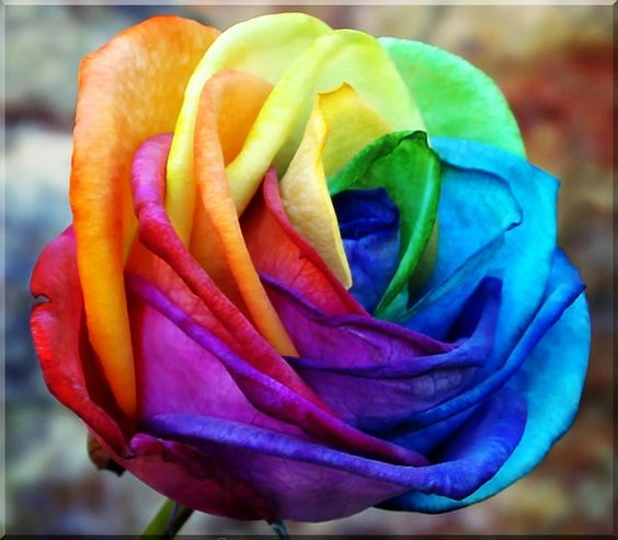 Pinterest the world s catalog of ideas for How much are rainbow roses