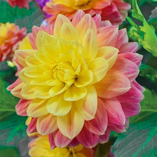 October Sky Dahlia Shop Online At Breck S Bulbs Canada In 2020 Bulb Flowers October Sky Fall Plants