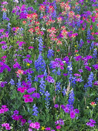 A field of bluebonnets, Indian paintbrush, & wild phlox!!♥